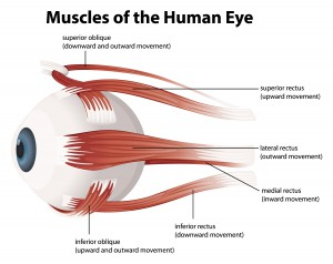Muscles of human eye illustrated
