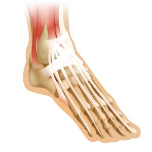 Illustration of a human foot with connective tissue