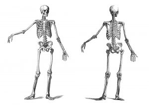 Vintage engraving of a standing skeleton, front and back view